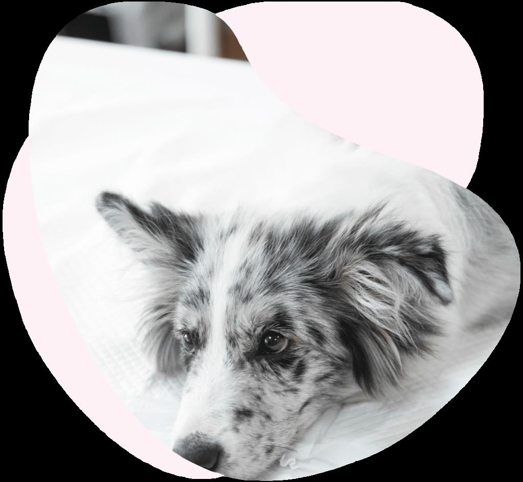 Assurance décès chien chat