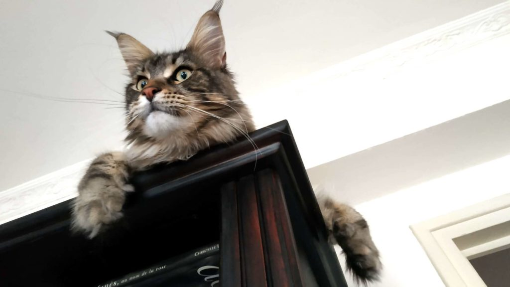 maine coon4