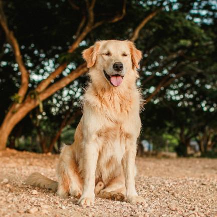 golden retriever animal assur