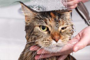 quand et comment laver son chat