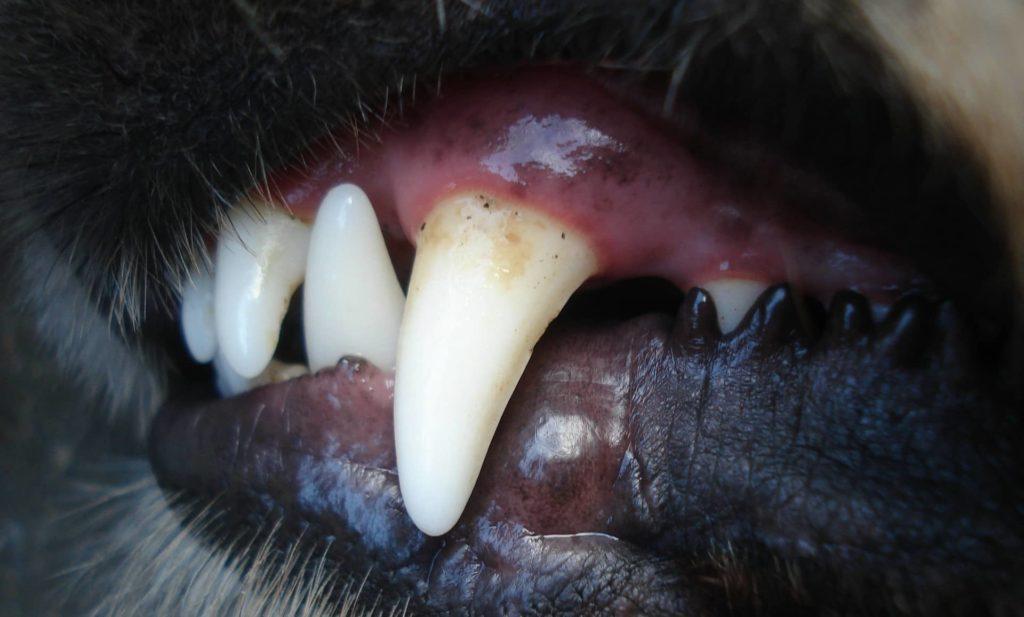 tartre dent chien