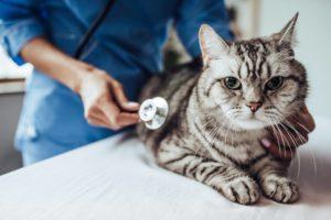 maladies fréquentes chat