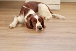 chien arthrose